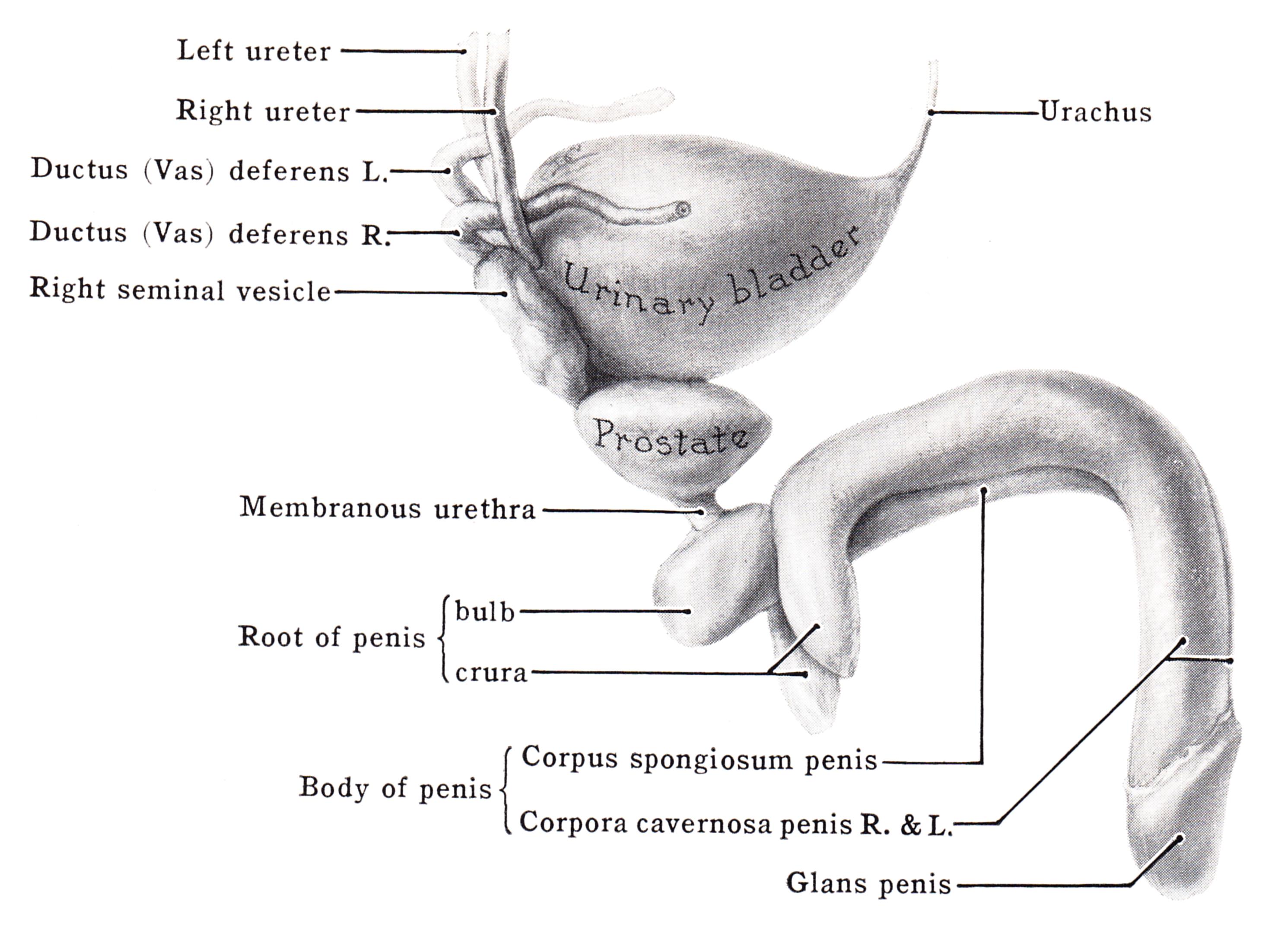 coronal sulcus pénisz miért van pénisz reggel