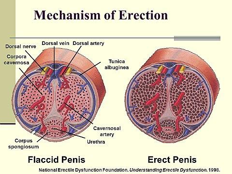 Hogyan kezeljük az erekciót prosztatagyulladással