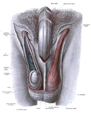 a pénisz és a herezacskó megnagyobbodása az erekció leghatékonyabb serkentője