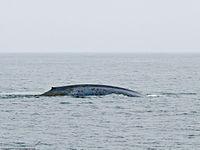 Gigantikus méretű bálnapéniszt kaptak lencsevégre