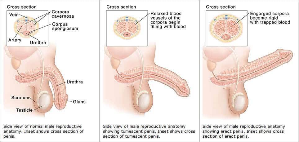 az erekció teljes hiánya közepesen kielégítő péniszméret