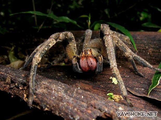 Index - Tudomány - Igaz a legenda, tényleg erekciót okoz a világ legmérgesebb pókjának csípése