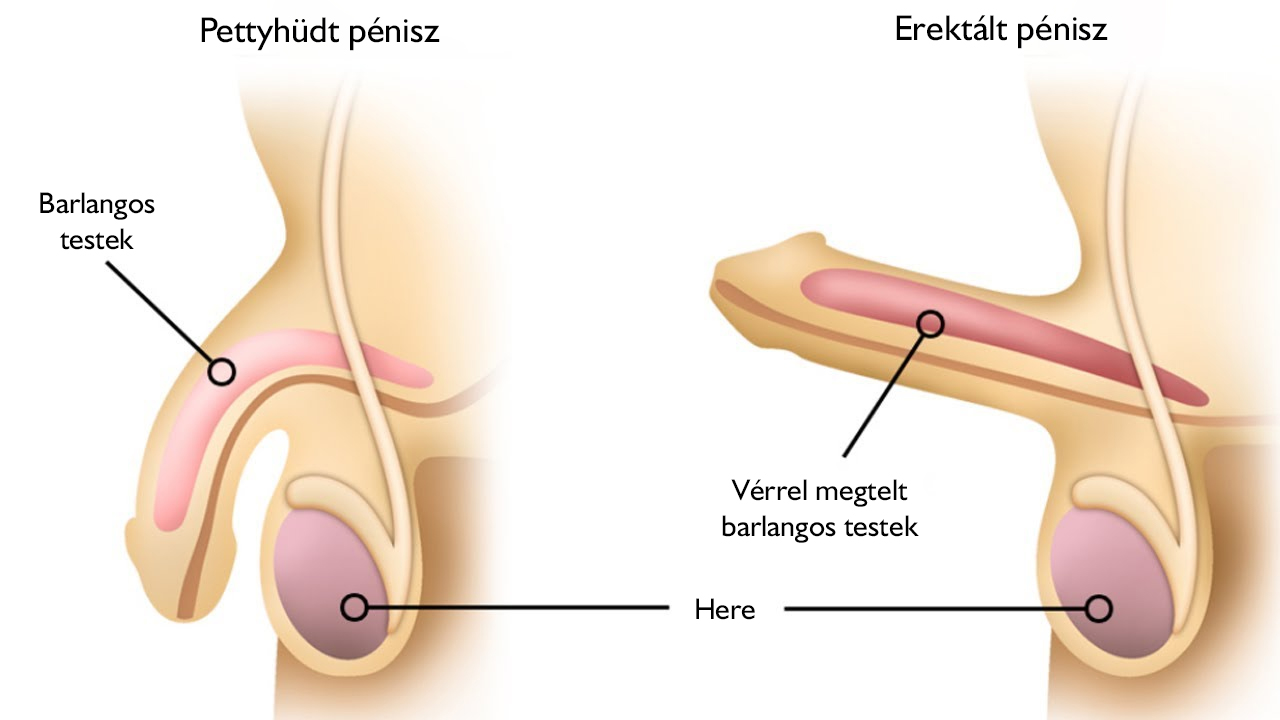 erekció során vizelés