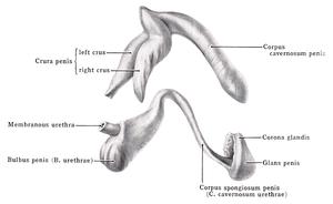 coronal sulcus pénisz belsõ pénisz