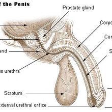 pénisz corpus cavernosum