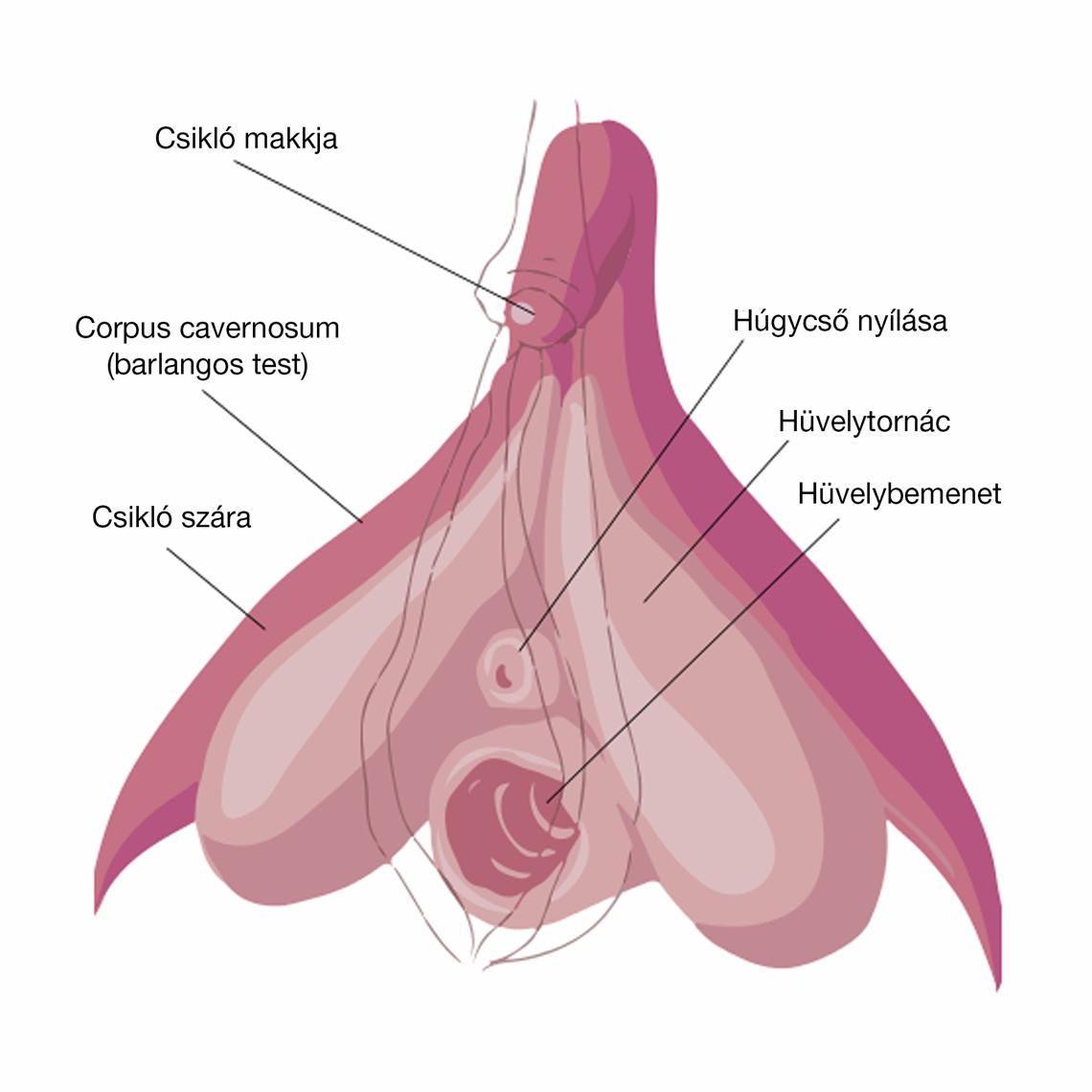 fordított pénisz