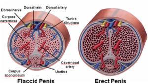 hogyan kell kiváltani az erekciót